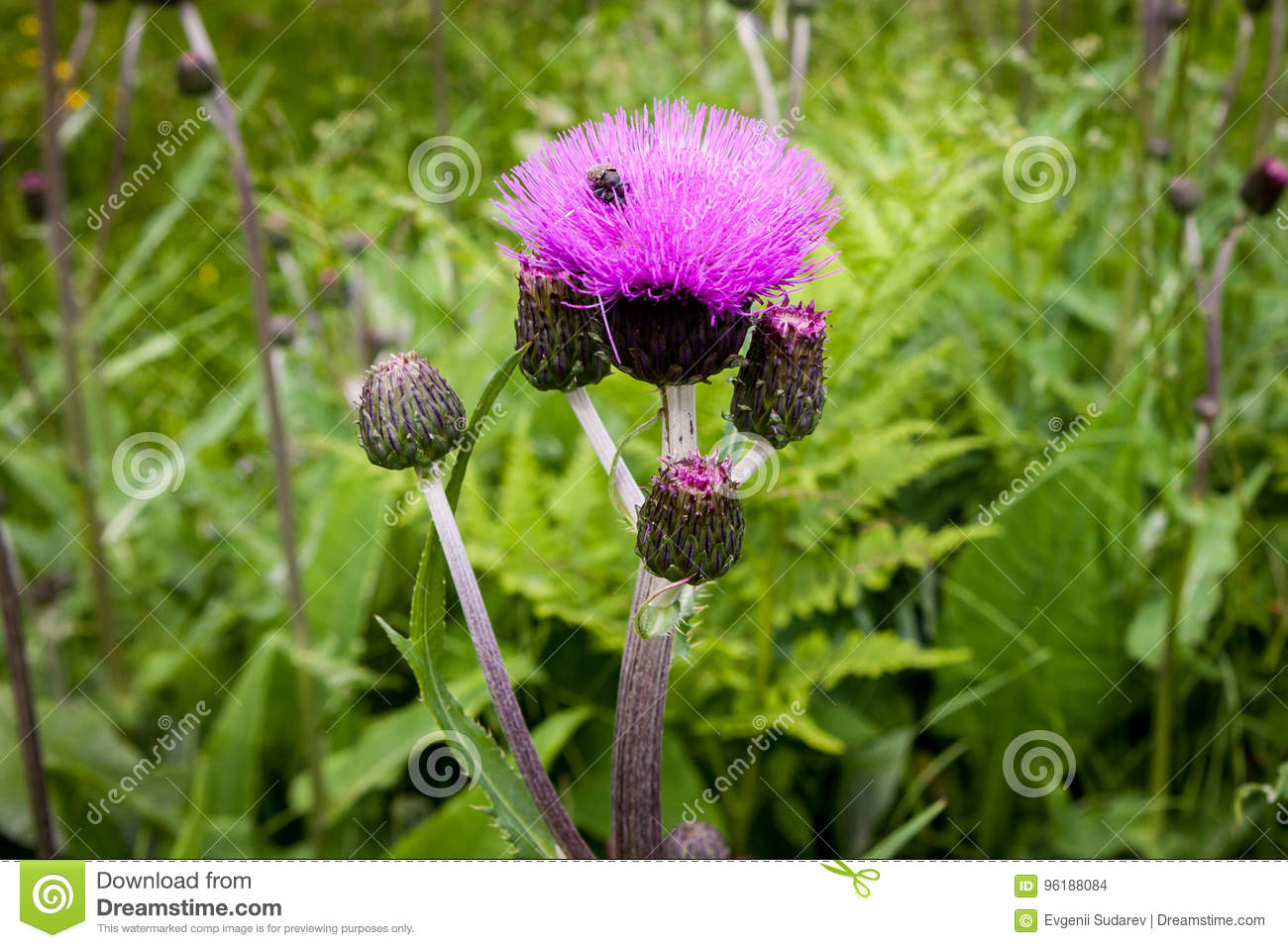 Thistle Buds And Flowers On A Summer Field Thistle Plant Is The