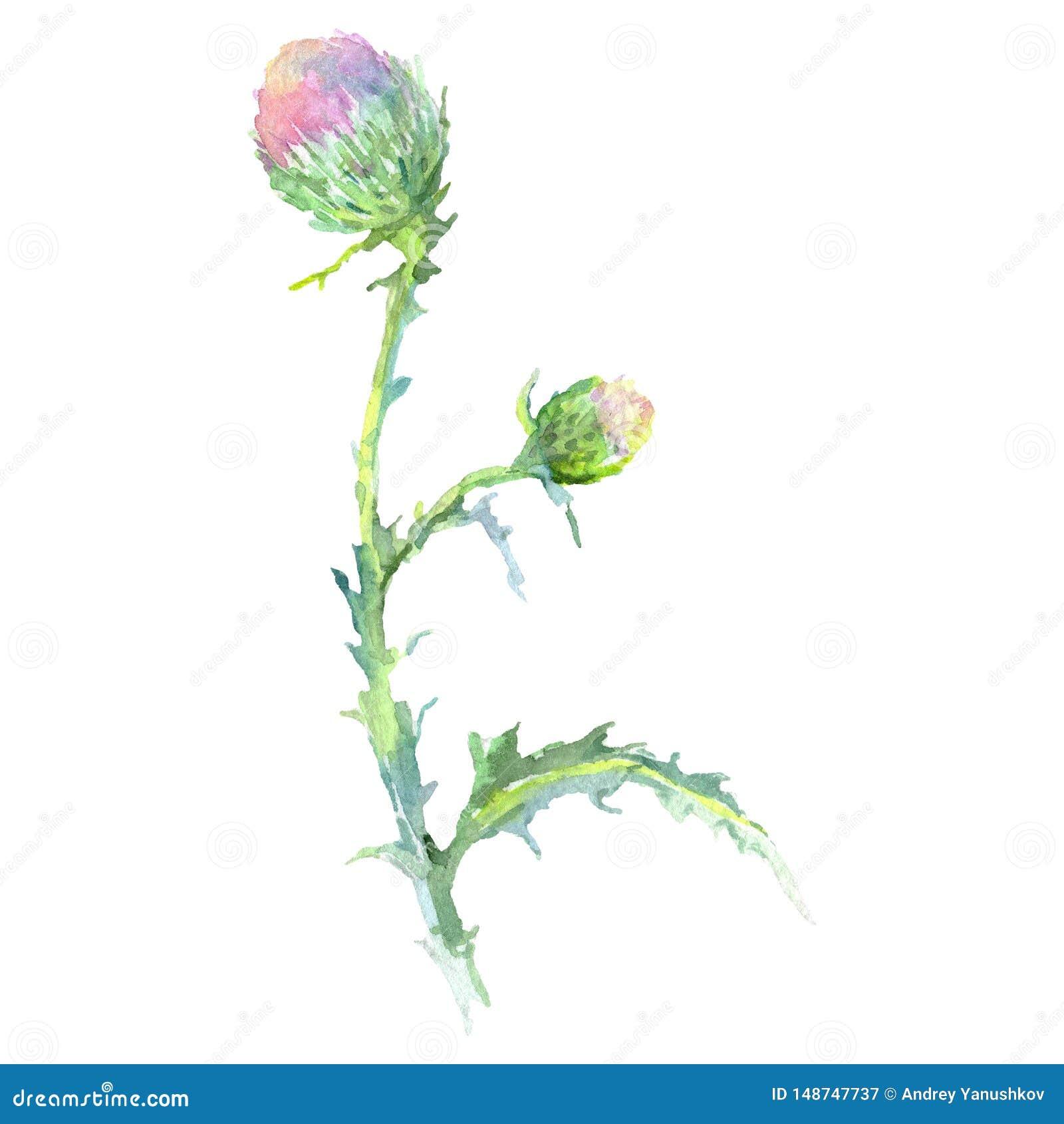 5ddd0fb87 Thistle floral botanical flower. Watercolor background illustration set. Isolated  thistle illustration element.