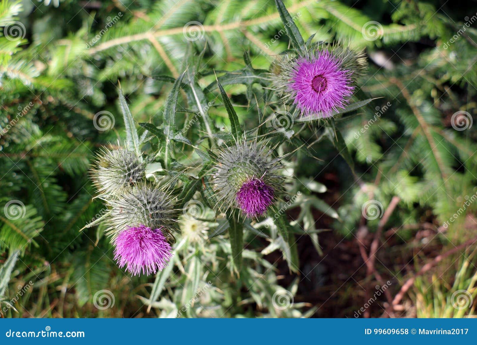 Thistle Flower Symbol Of Scotland Stock Photo Image Of Head