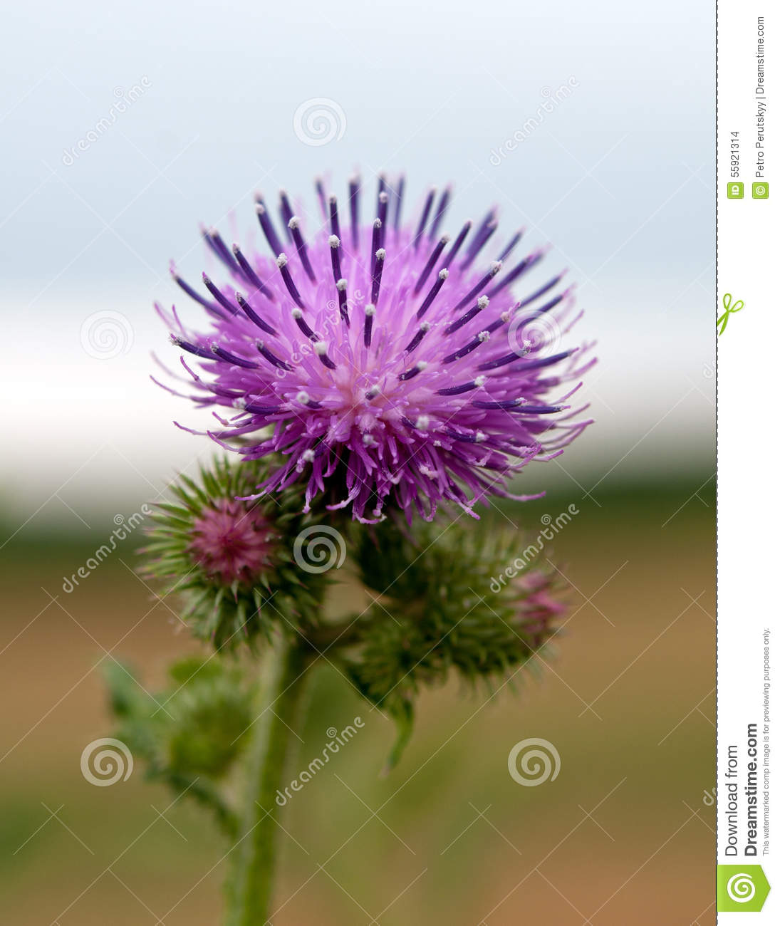 how to make milk thistle tea from plant