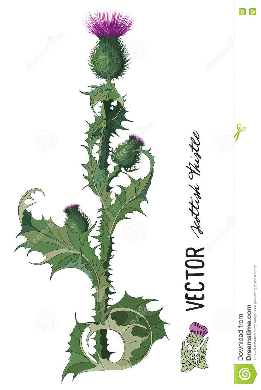 thistle onopordum acanthium scottish thistle stock illustration