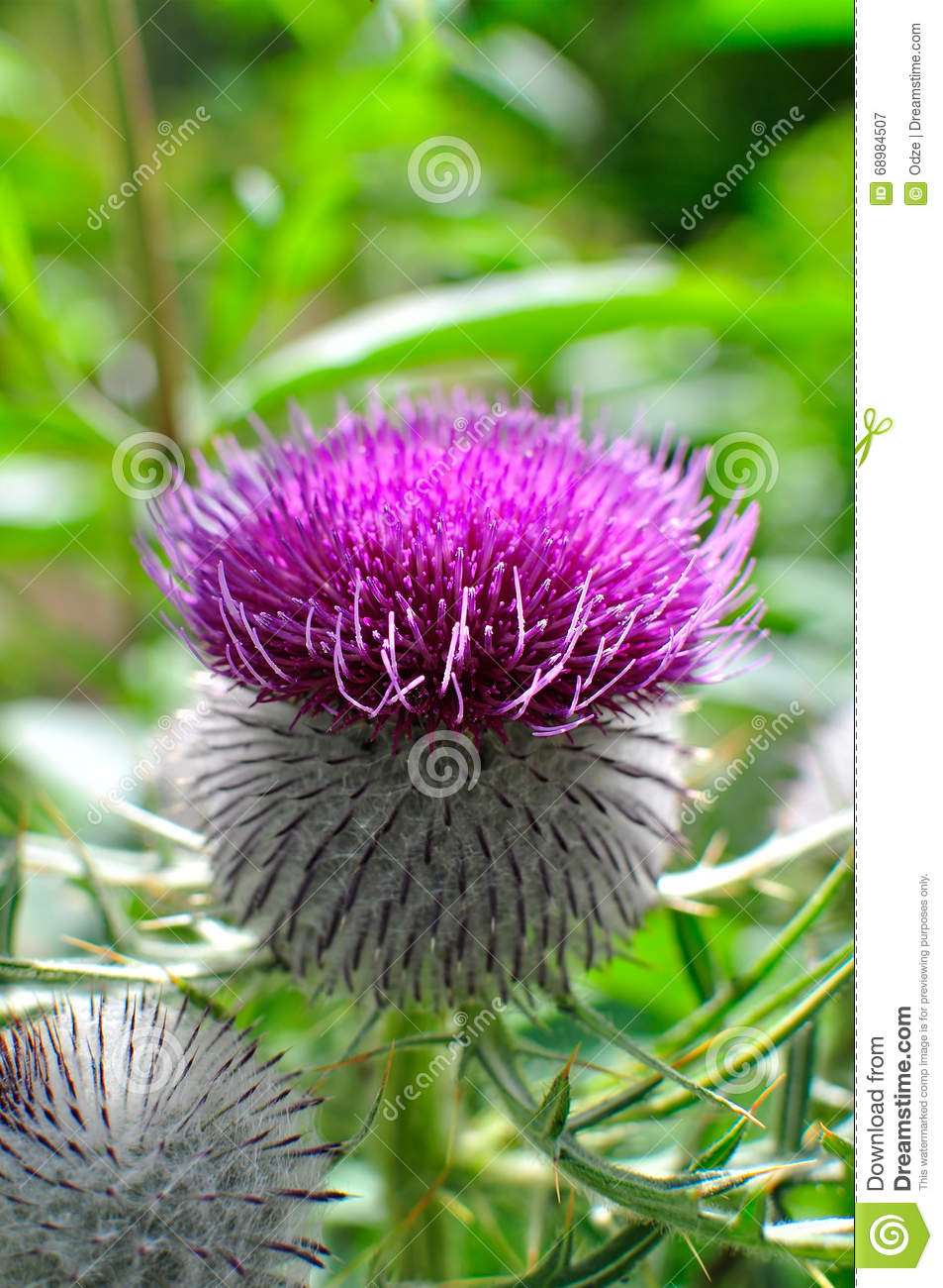 Thistle woolly roxo