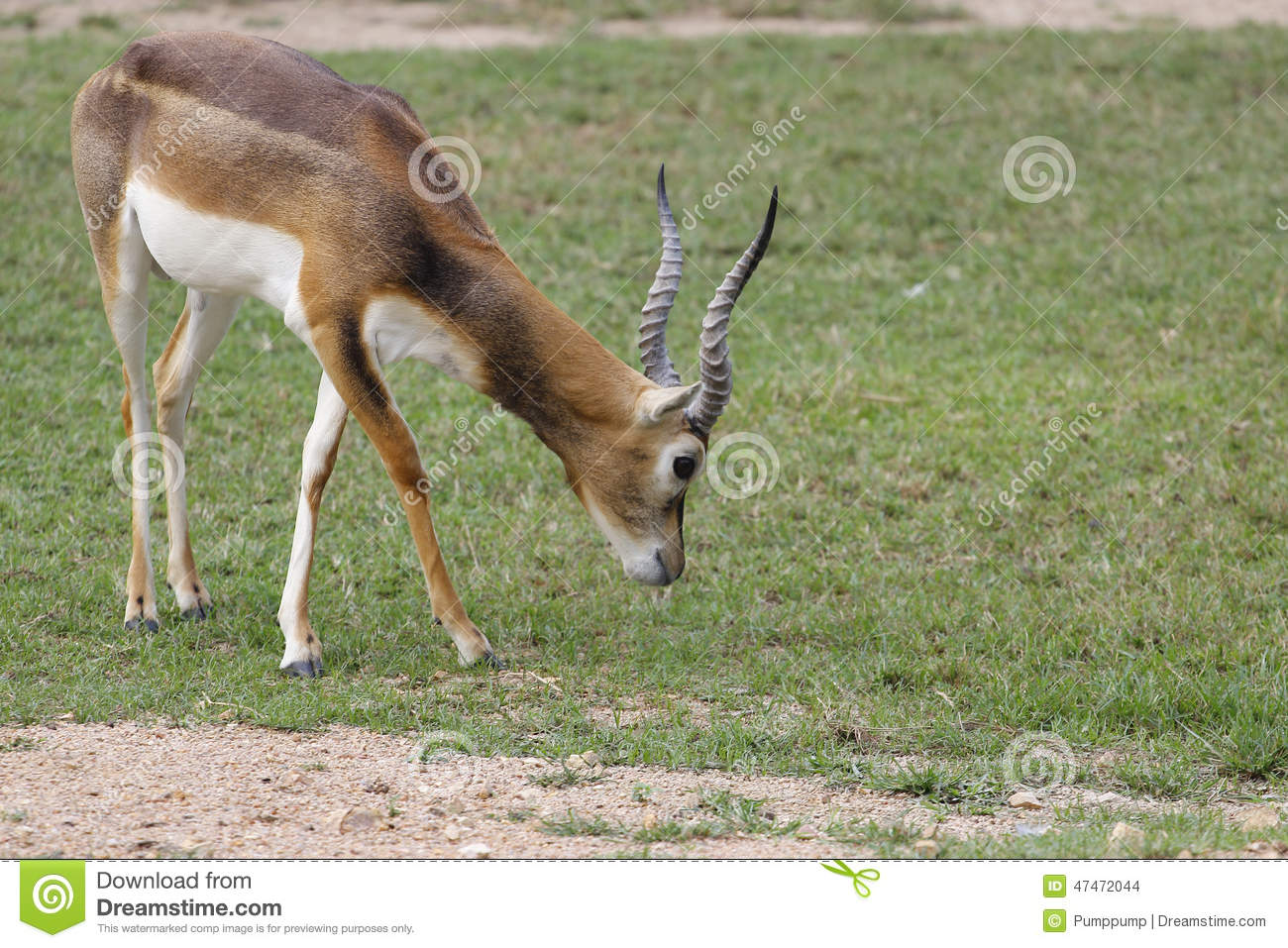What do gazelles eat