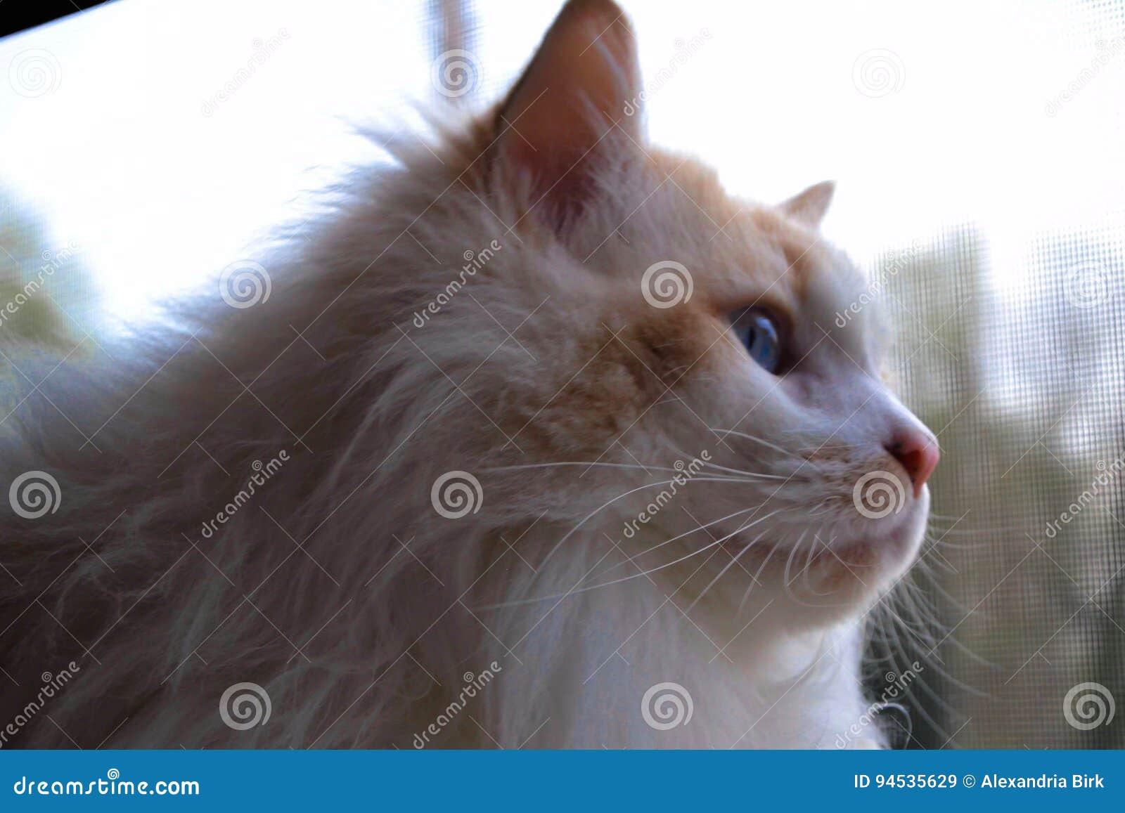 Thor da reunião, o gato de Ragdoll