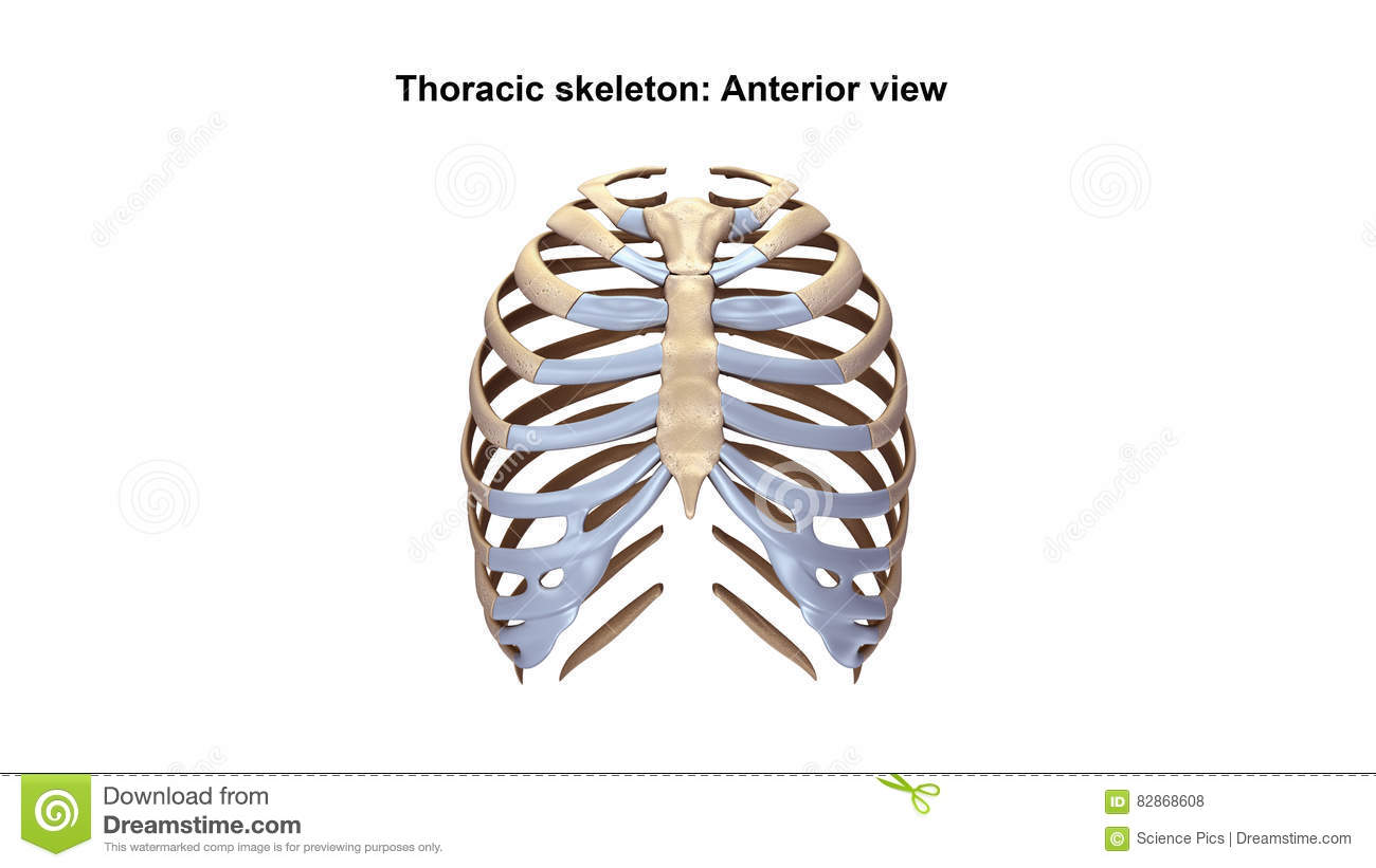 Thoracic Skeleton Anterior View Stock Illustration Illustration Of
