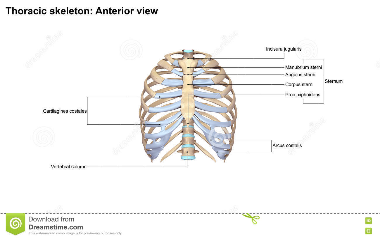 Thoracic Skeleton Lateral View Stock Illustration - Illustration of ...