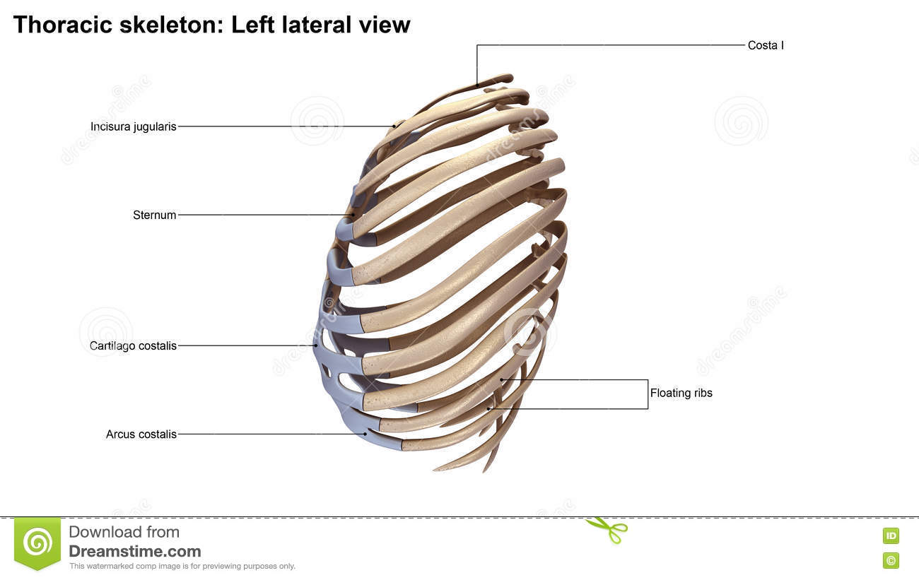 Thoracic Skeleton Lateral View Stock Image - Image of ribs, anatomy ...