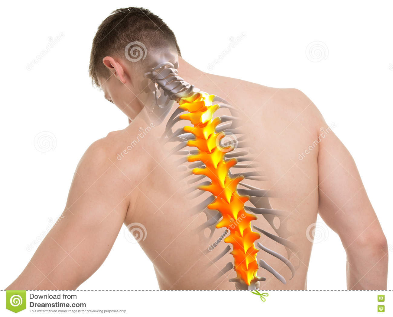 Thoracic Spine Anatomy Isolated On White Stock Photo - Image of ...