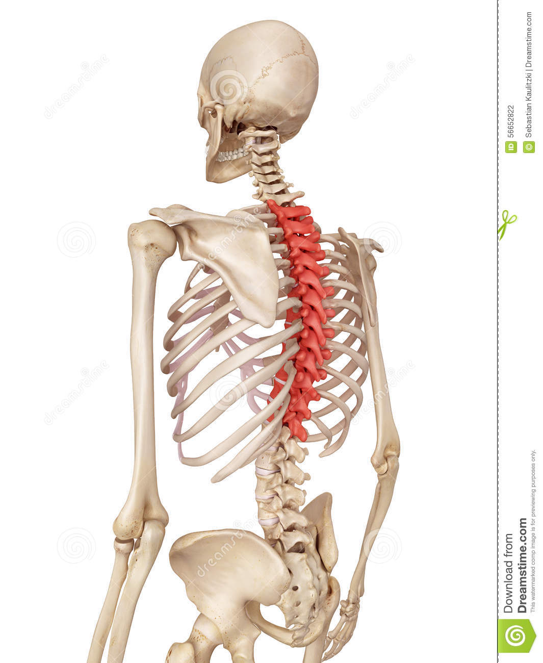 The Thoracic Spine Stock Illustration Illustration Of Accurate