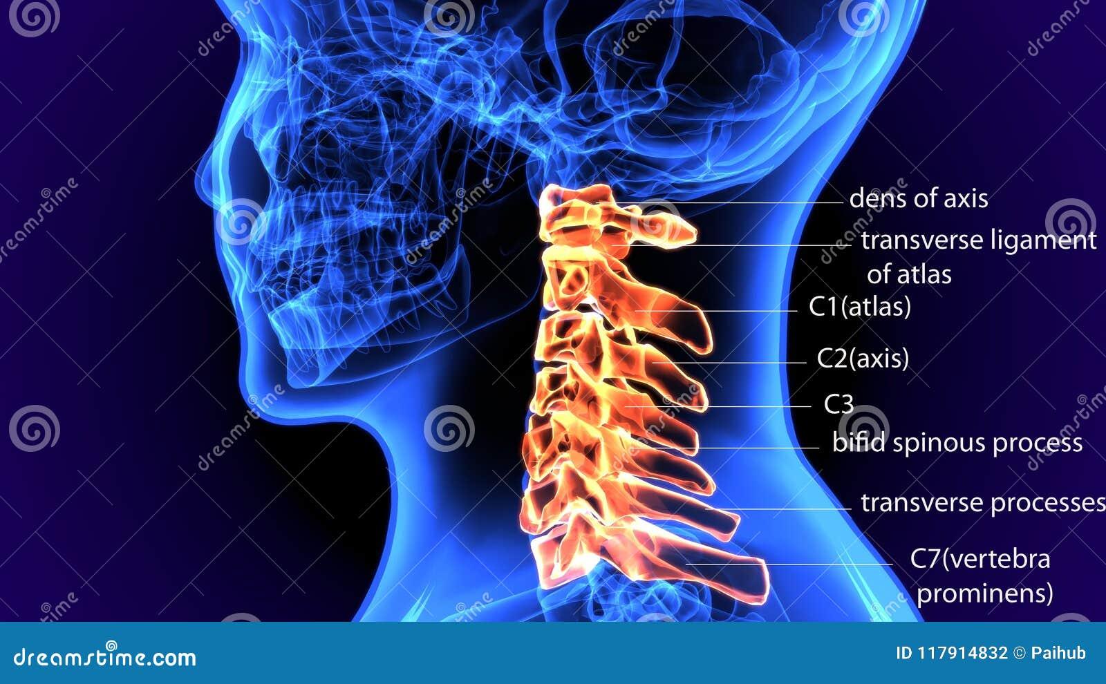 3d Illustration Of Human Body Cervical Vertebrae Bone Stock