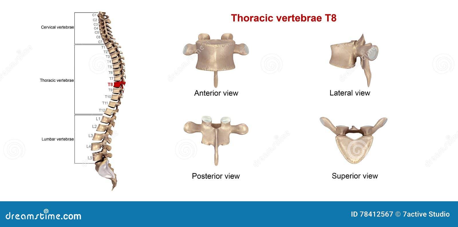 Thoracic vertebrae T8 stock illustration. Illustration of anatomy ...
