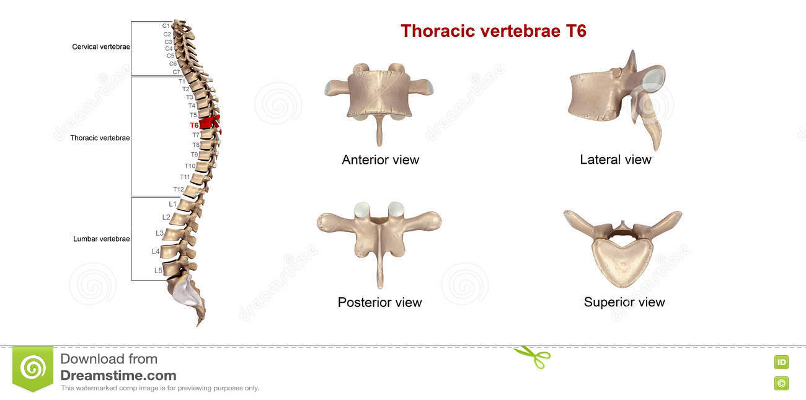 Thoracic Vertebrae T6 Stock Illustration Illustration Of Medical