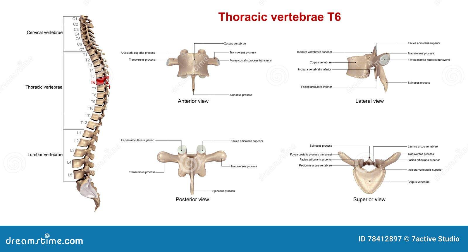 Thoracic Vertebrae T6 Stock Illustration Illustration Of Lamina