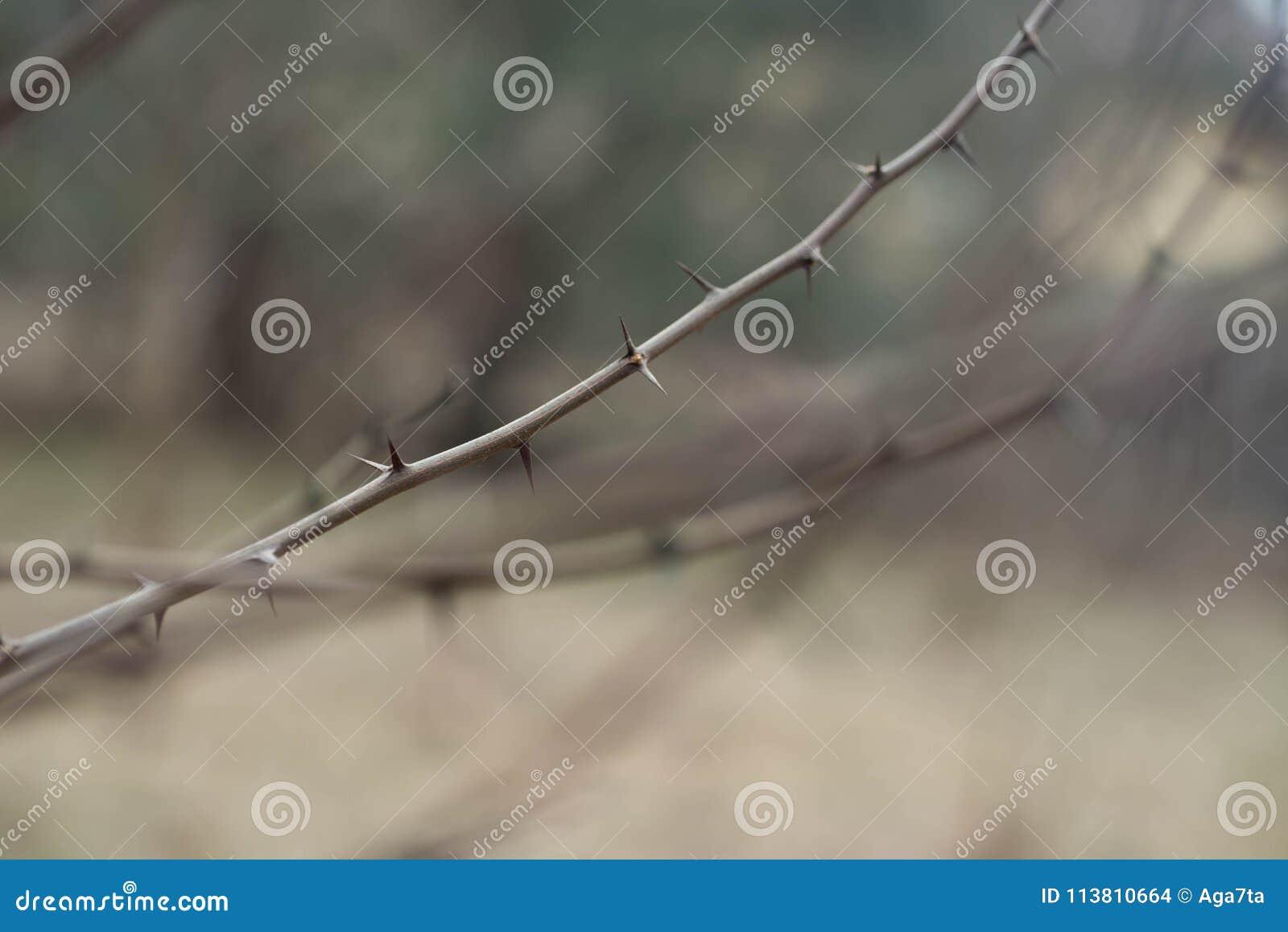 Thorn of black locust macro