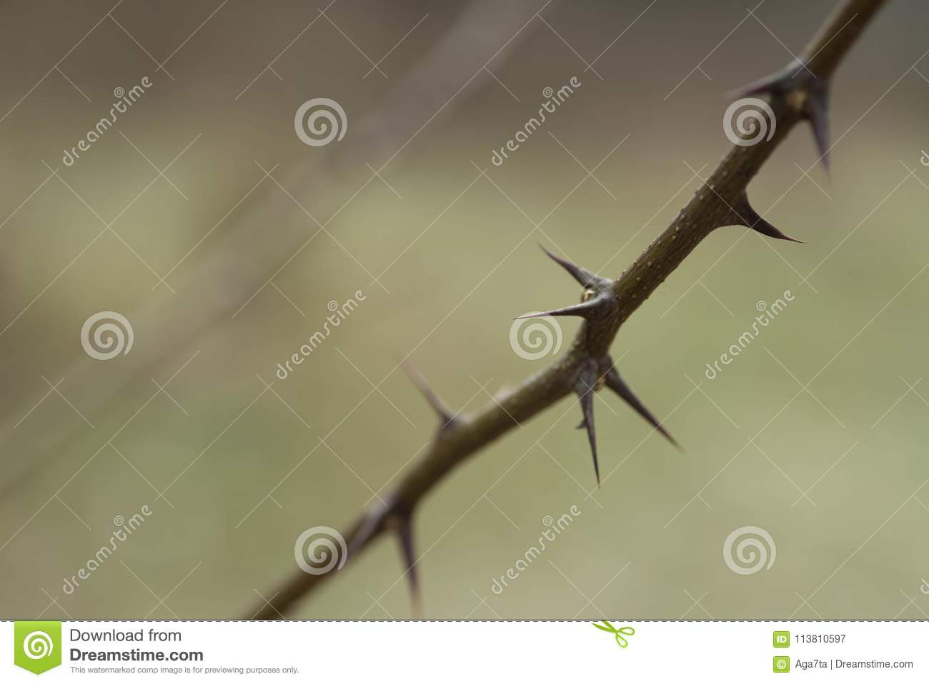 Thorn of black locust macro