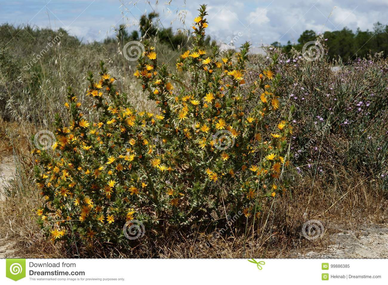 Thorn Bush With Yellow Flower Stock Image Image Of Wild Blooming