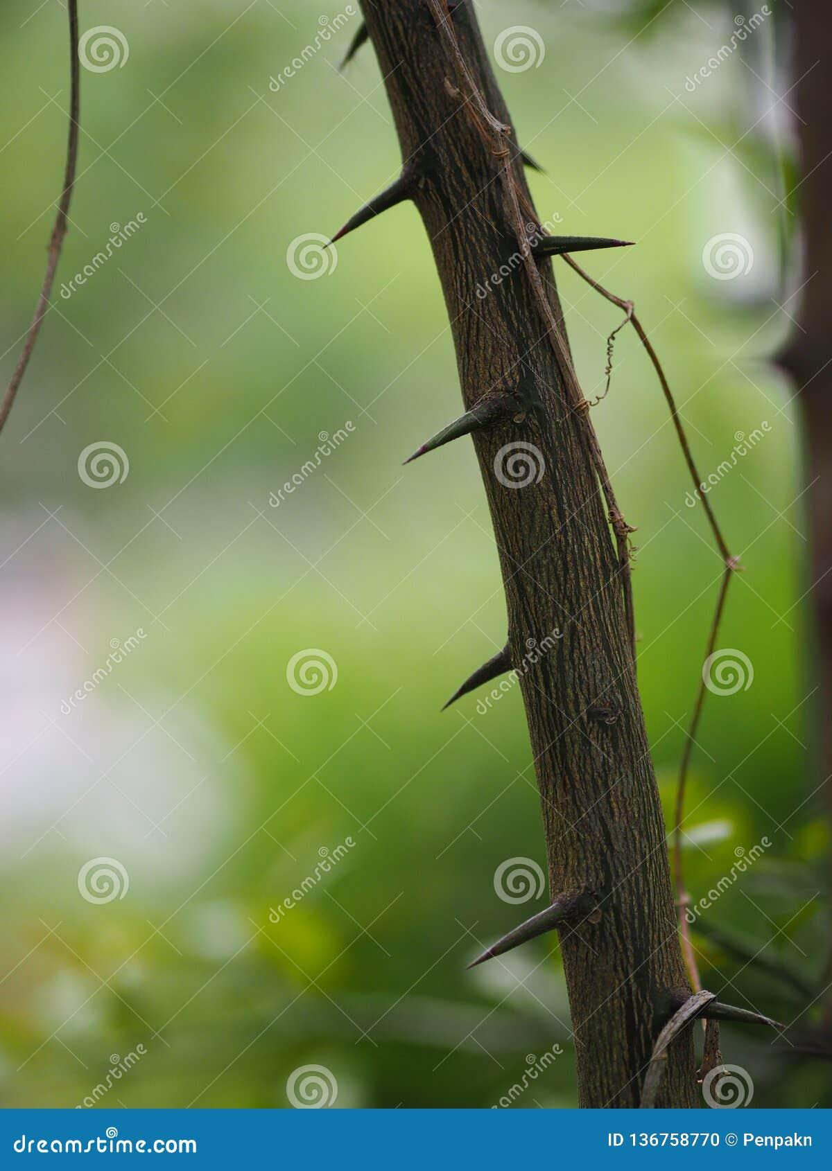 Thorn Cape av hesperitiumen för limefrukt för Kaffir för limefrukt för blodigel för bergamotMauritus papeda