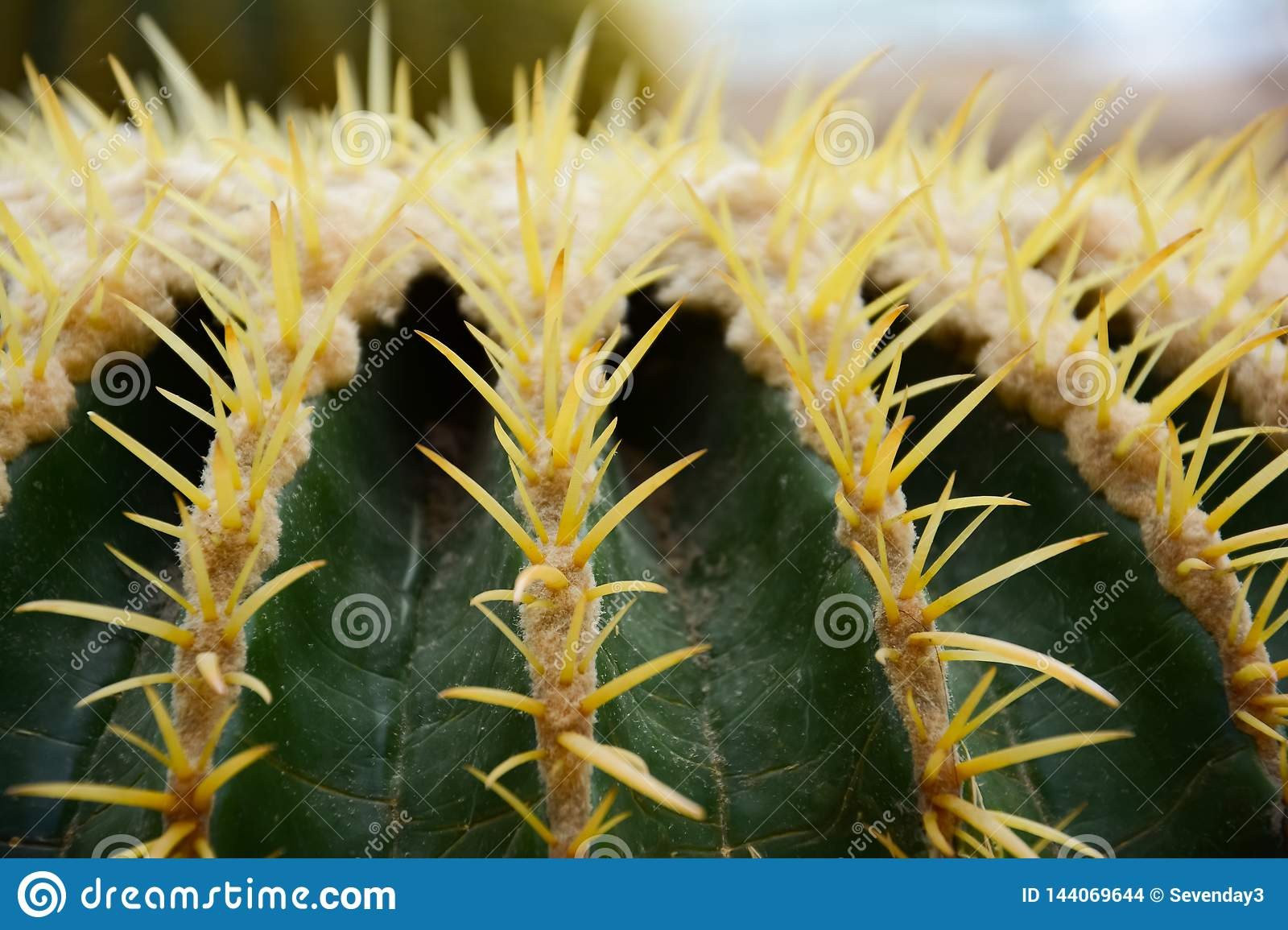 Thorn of Golden barrel cactus or Echinocactus grusonii Hildm, this is the desert tree which were many thorns , its body look like