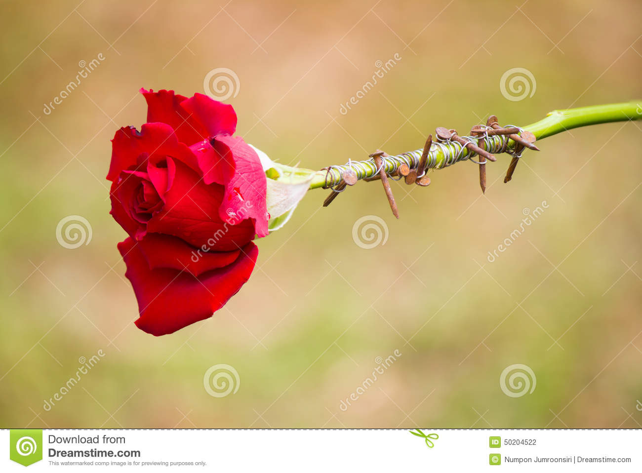 Thorns Wrapping Red Rose Stock Photo Image 50204522
