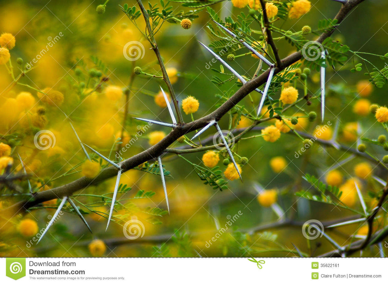 Thorntree Stock Photos Royalty Free Images