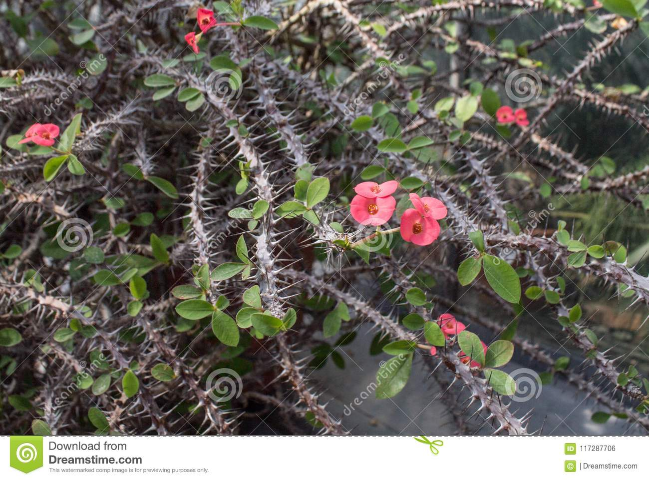 Thorny bush with pink flowers stock photo image of cactus botany download thorny bush with pink flowers stock photo image of cactus botany 117287706 mightylinksfo