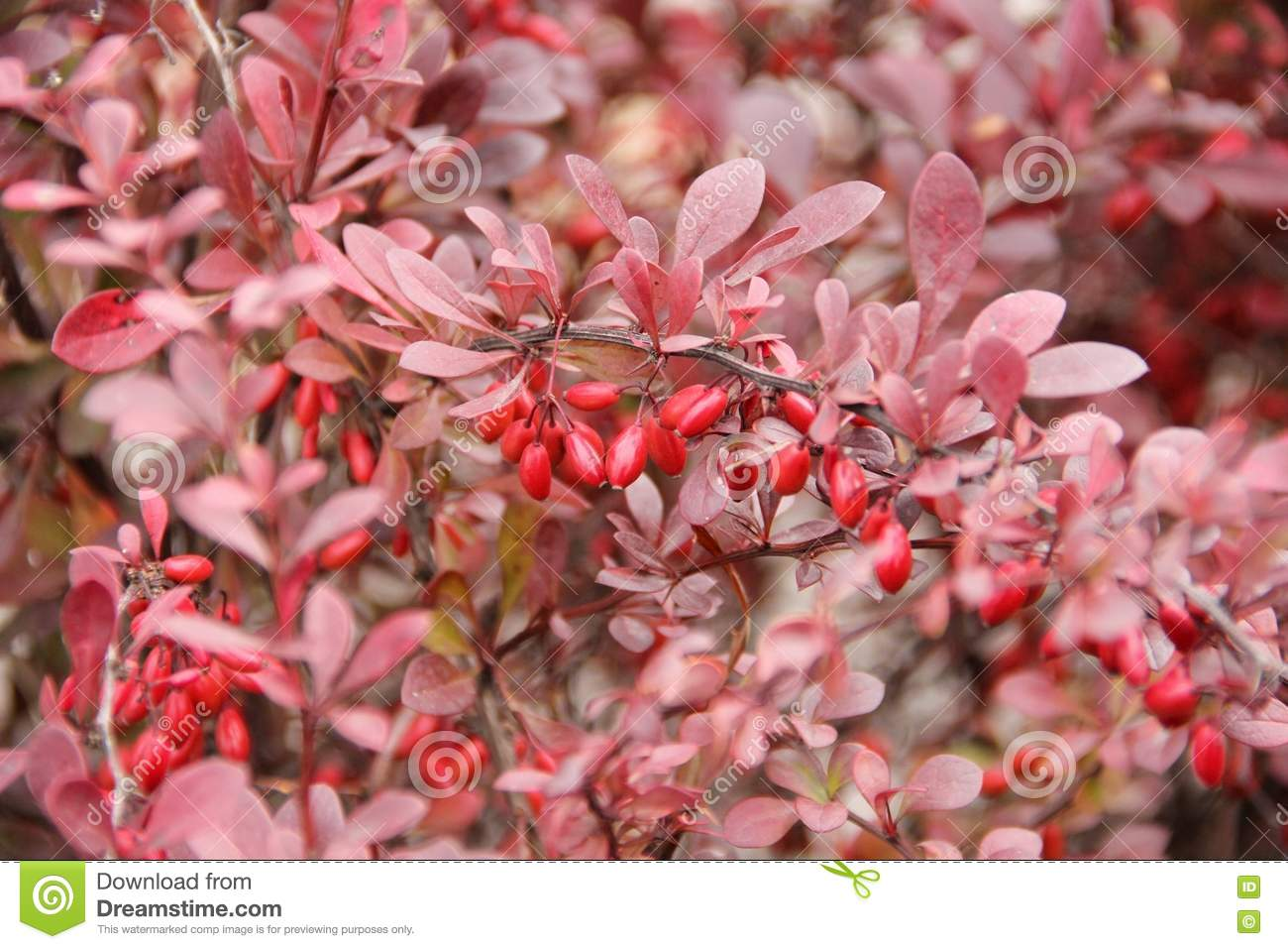 Thorny Shrub With Red Leaves And Berries Stock Image Image Of