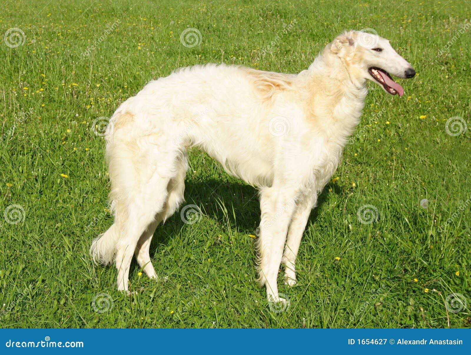 A Borzoi Dog Thoroughbred borzoi dog