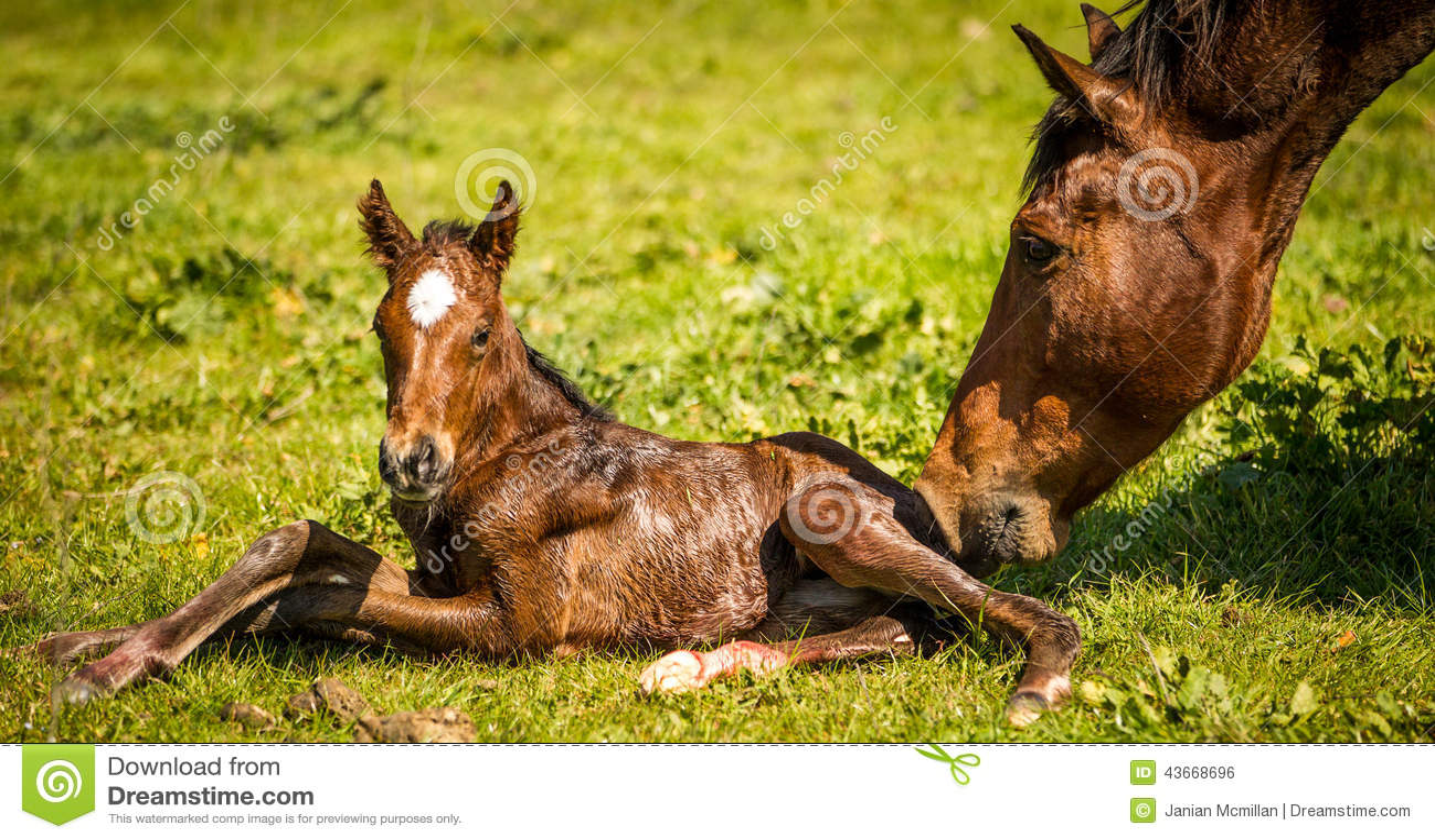 Thoroughbred broodmare greeting her newborn foal