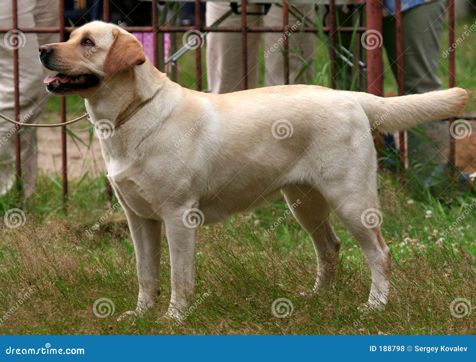 Thoroughbred del cane