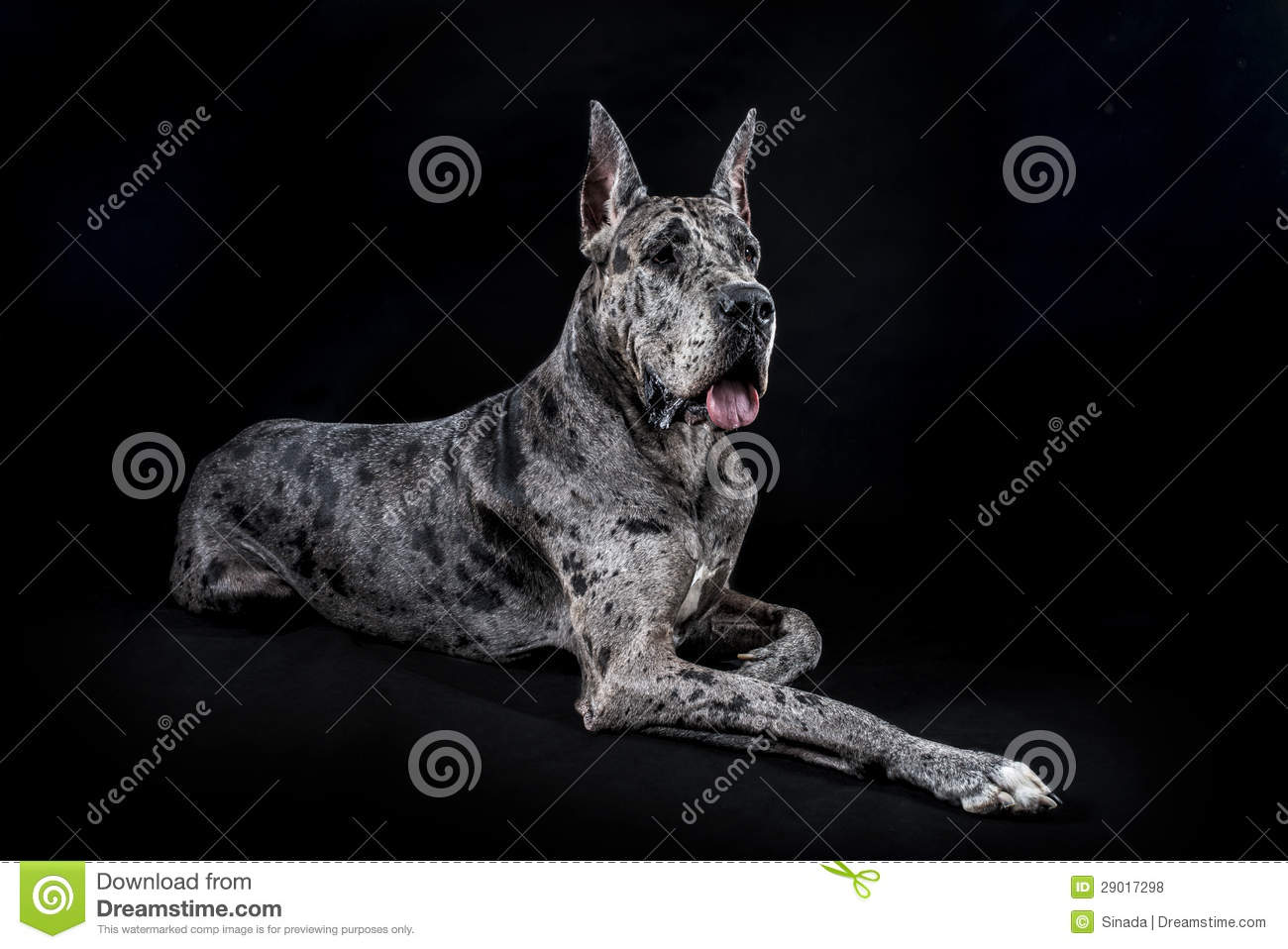 Thoroughbred Dog A Gray Marble Great Dane Stock Photo