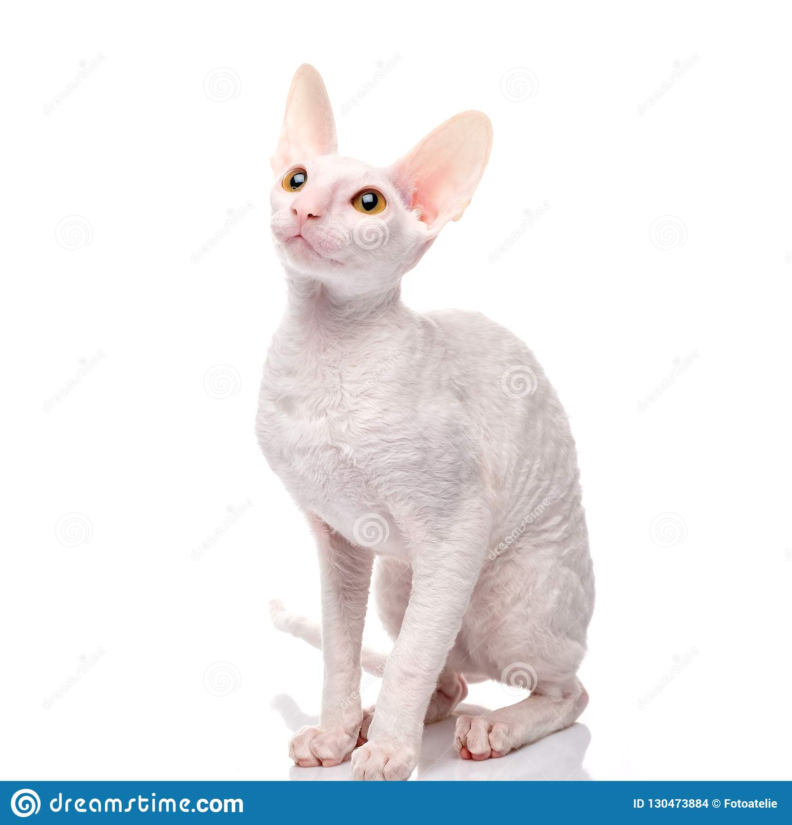 Thoroughbred White Cornish Rex Cat on white background.