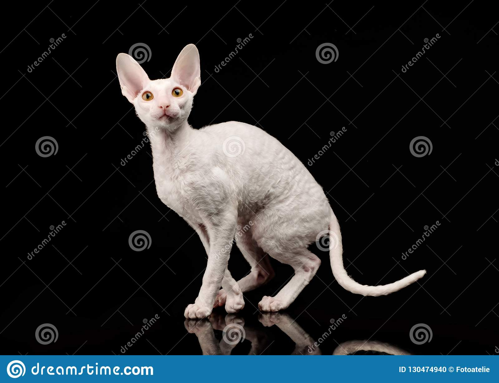 Thoroughbred White Cornish Rex Cat on black background.