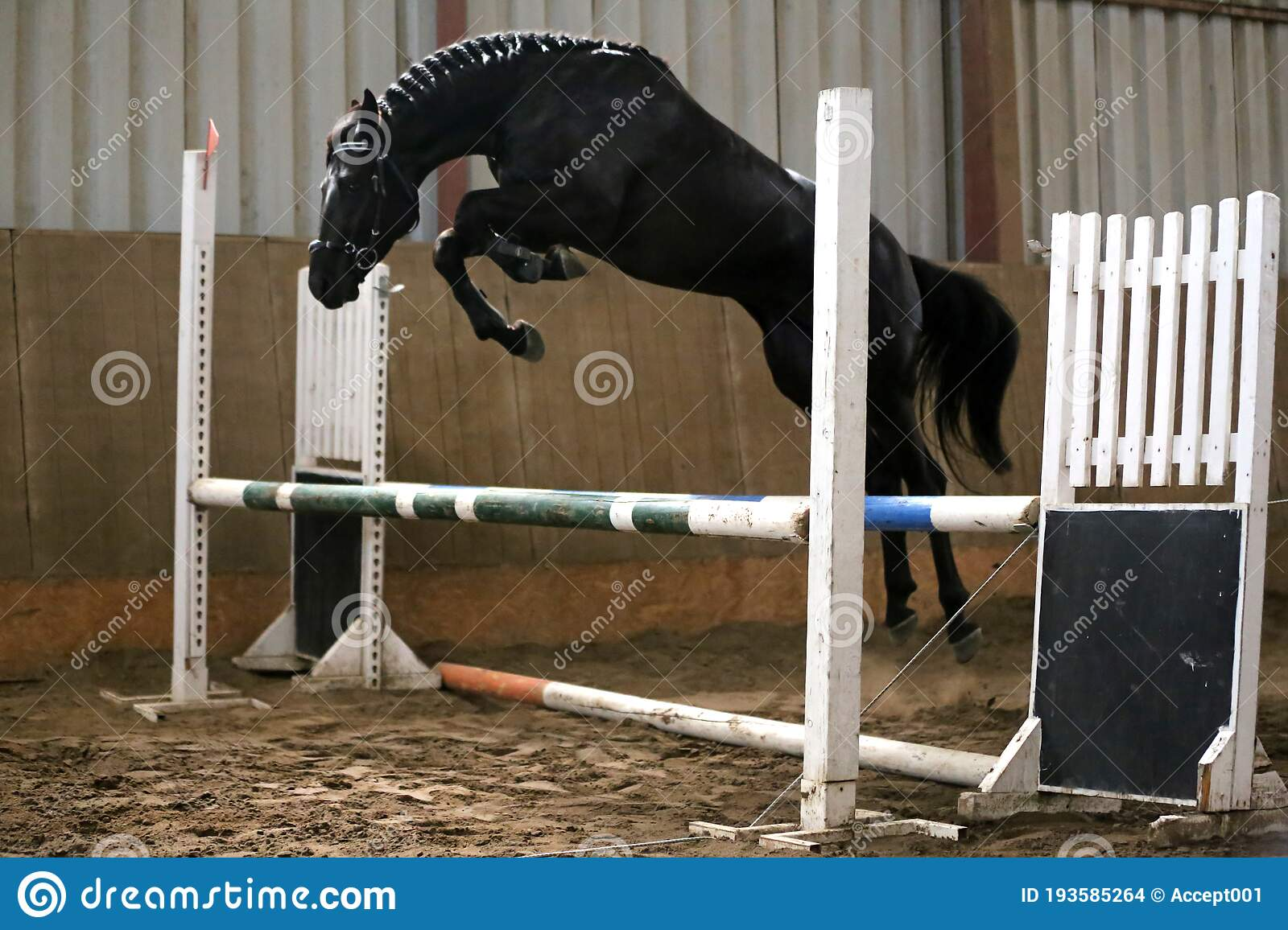 Beautiful Young Purebred Horse Jump Over Barrier Free Jumping In The Riding Hall Stock Photo Image Of Harness Freedom 193585264