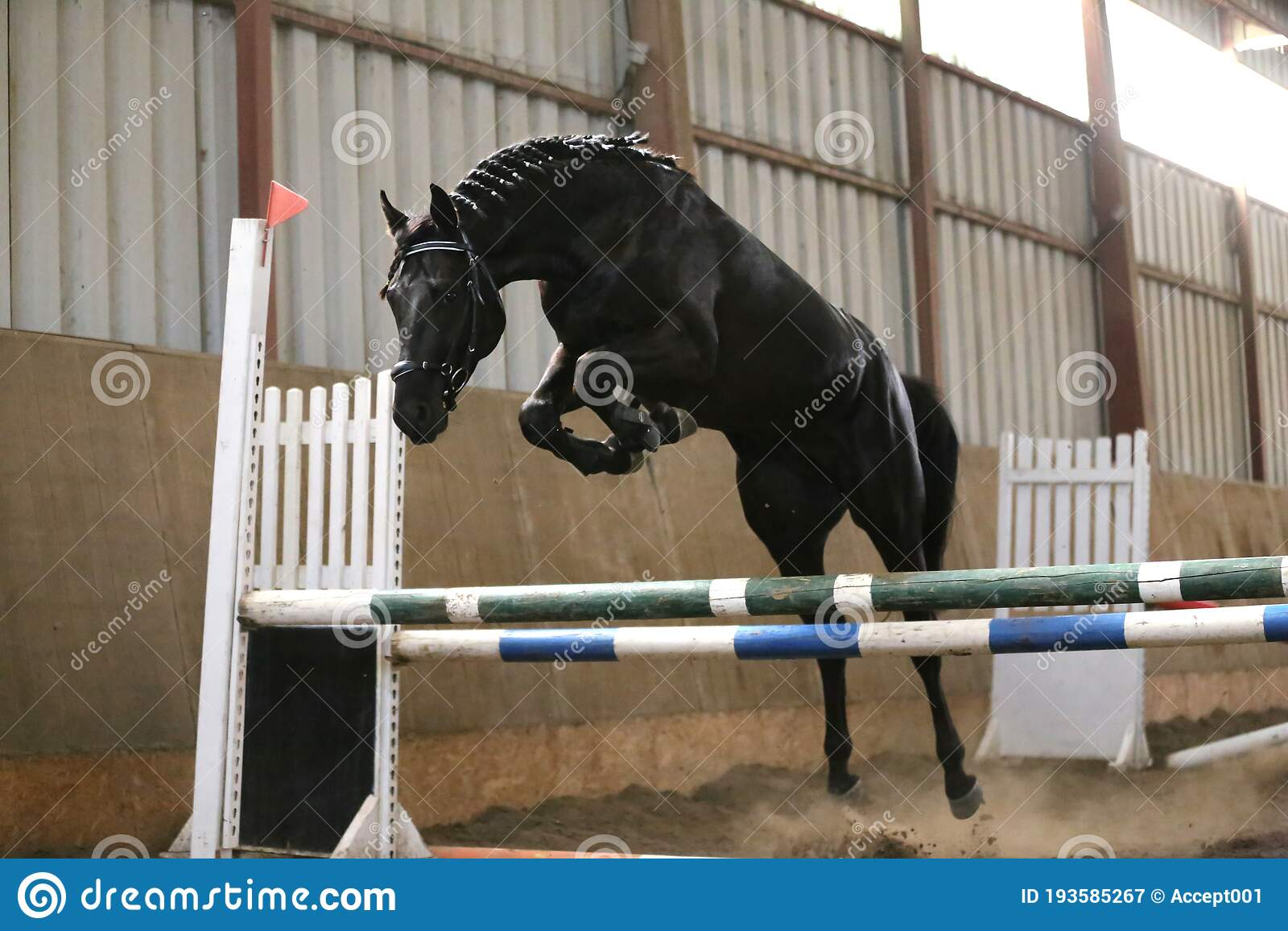 Thoroughbred Young Sport Horse Jumping Over Obstacles In The Arena Stock Image Image Of Activity Foal 193585267