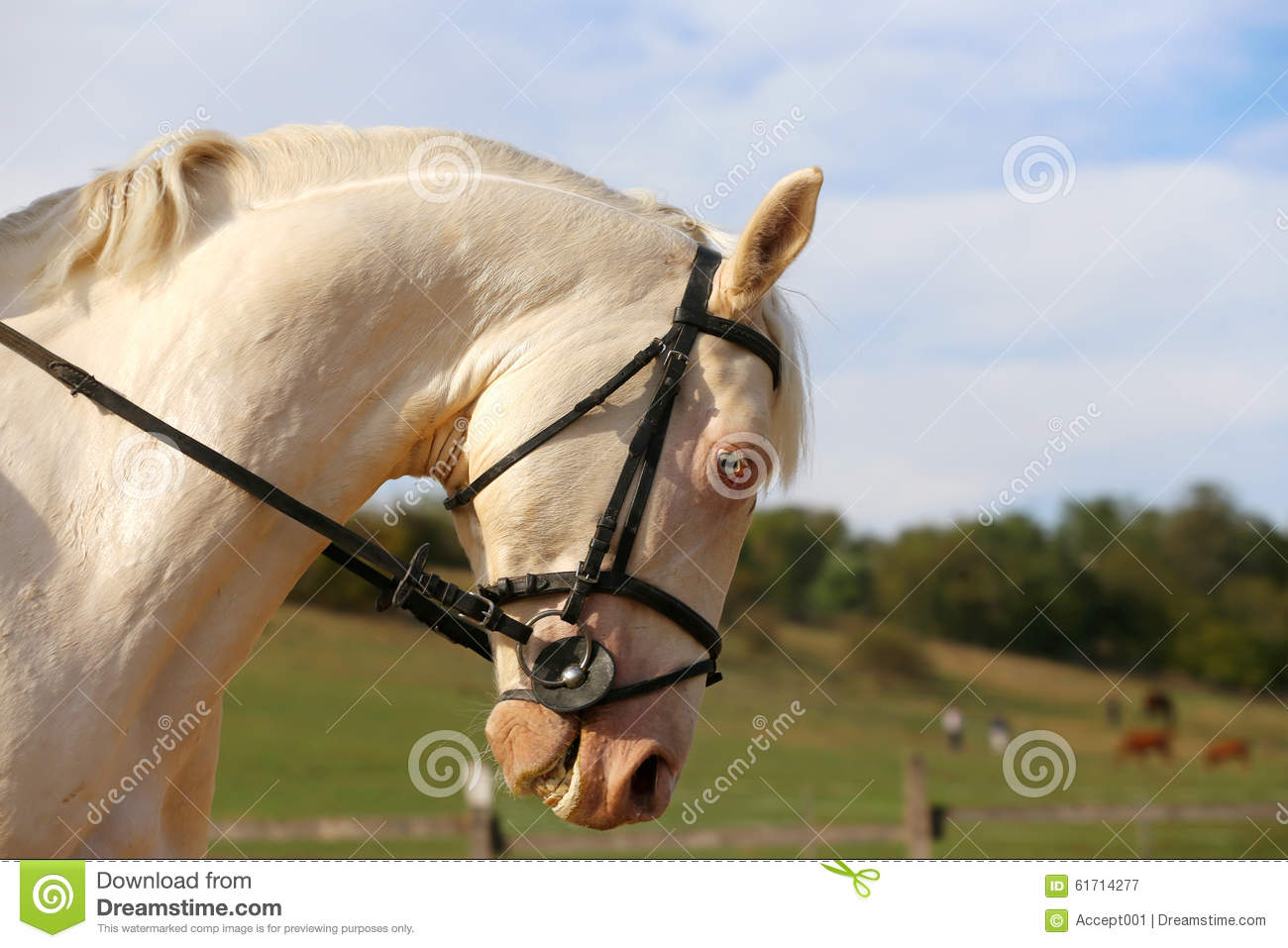 Thoroughbredl White Horse With Unique Blue Eyes Royalty