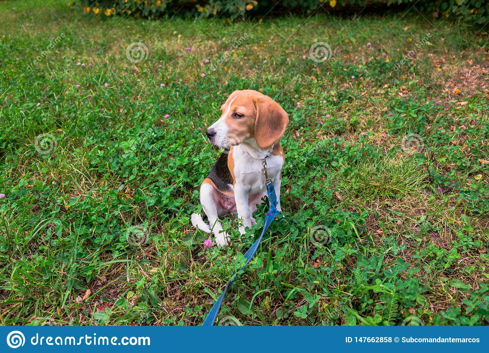 A thoughtful Beagle puppy with a blue leash on a walk in a city park. Portrait of a nice puppy.