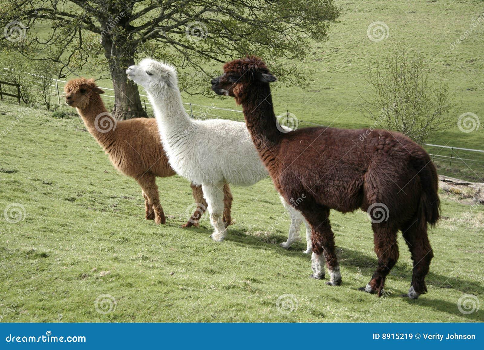 Three Funny Alpacas Royalty Free Stock Photography