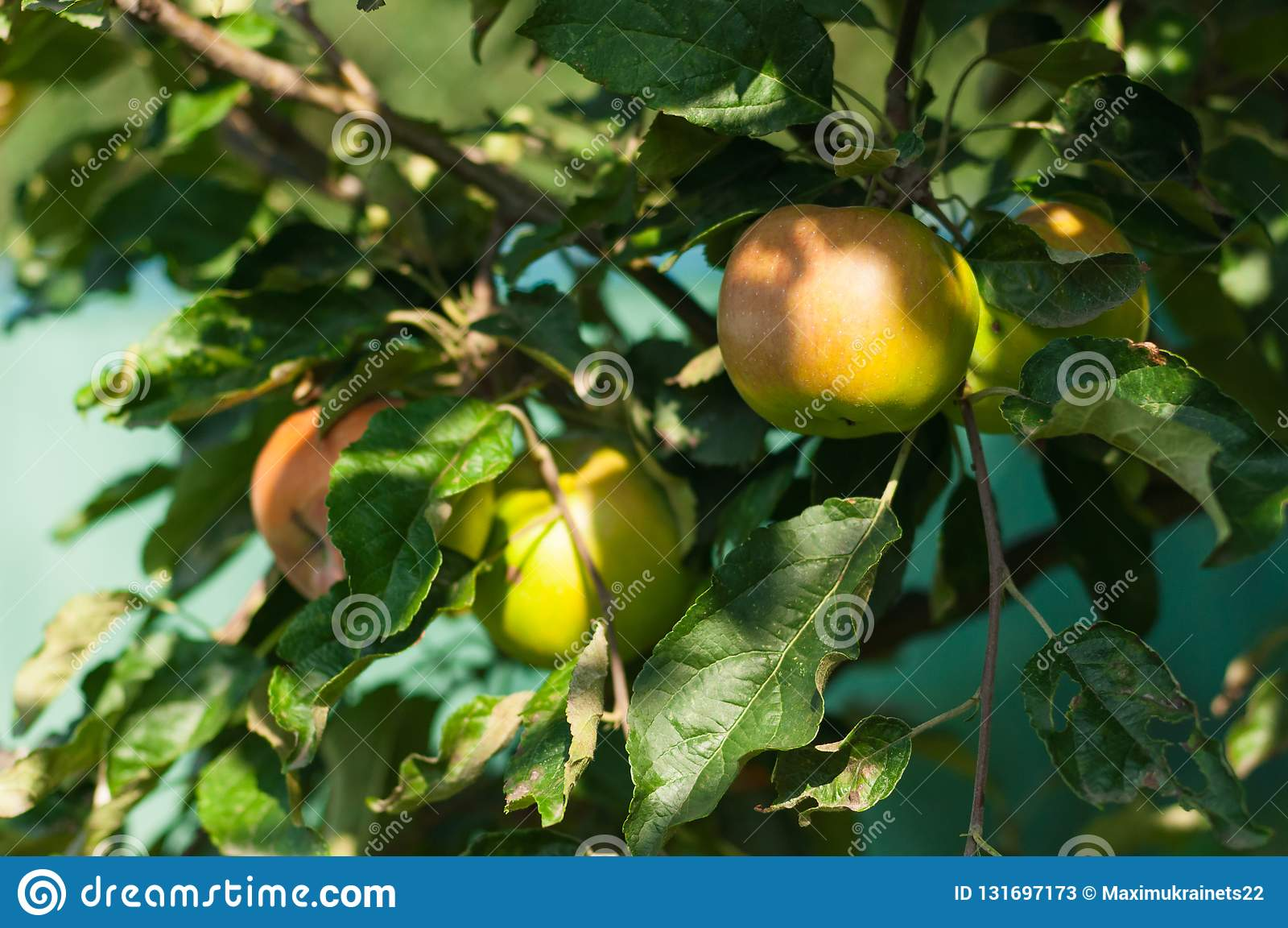 Three apples and leaves at a tree