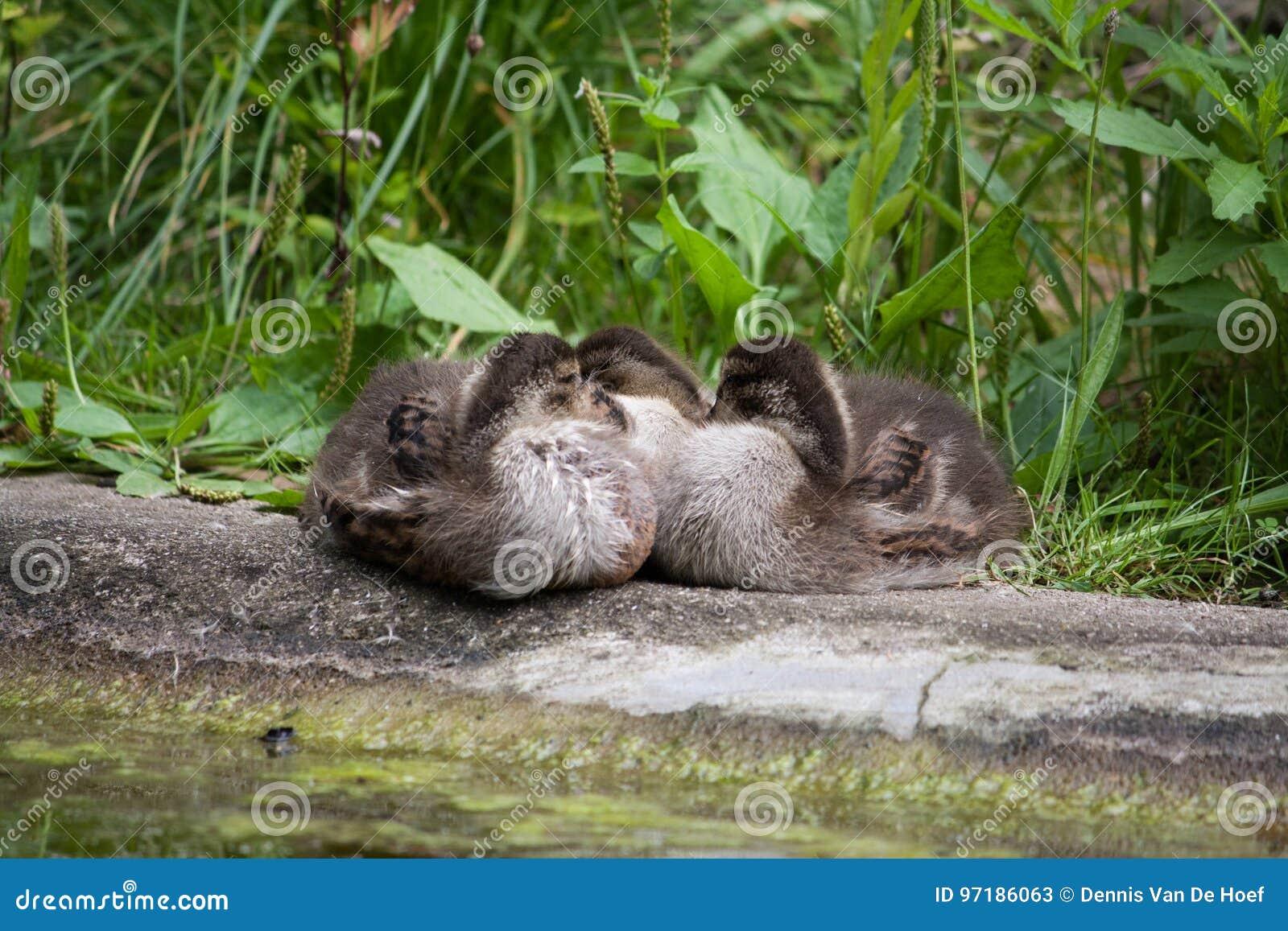 Three baby ducks sleeping.