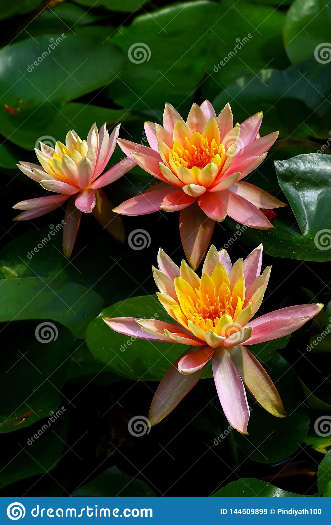 Three beautiful asian tropical water lilies in a pond
