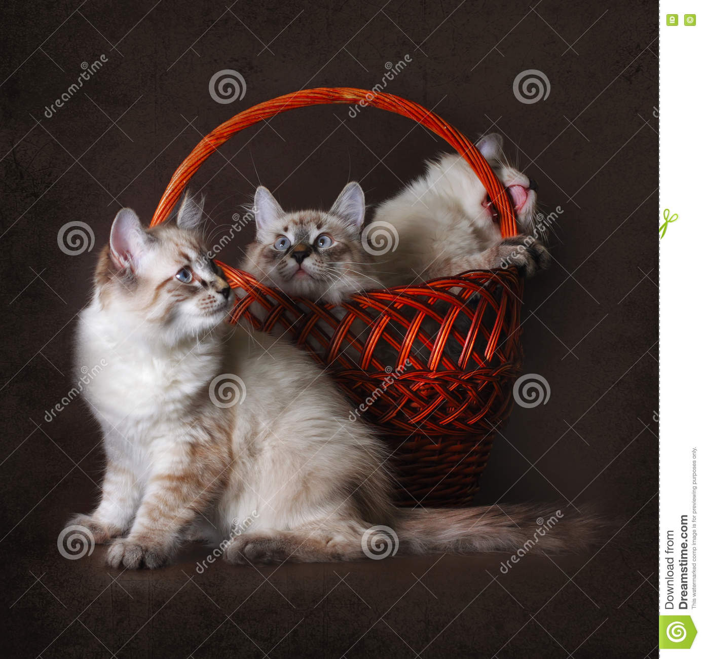 three beautiful cat breed Neva masquerade is played with a basket on a brown background