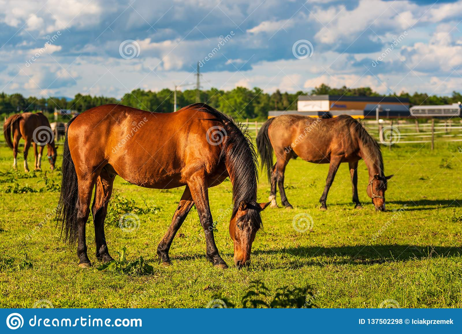 Three Beautiful horses grazing in lush green sunlit pasture outdoors summer