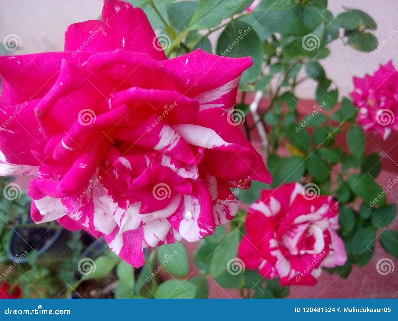 White red rose flower in the garden stock photo image of lotus white red rose flower in the garden mightylinksfo