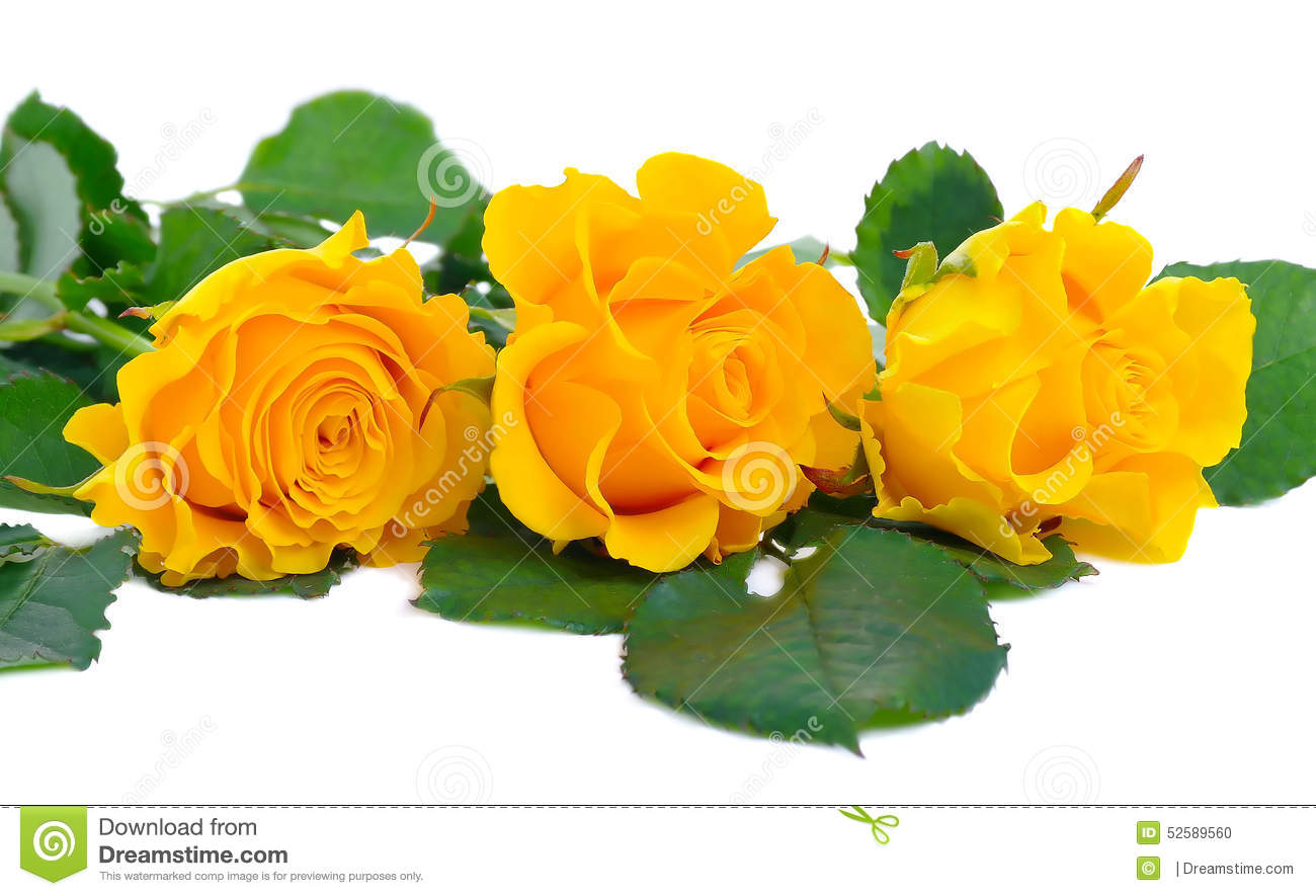 three beautiful yellow roses on a white background stock