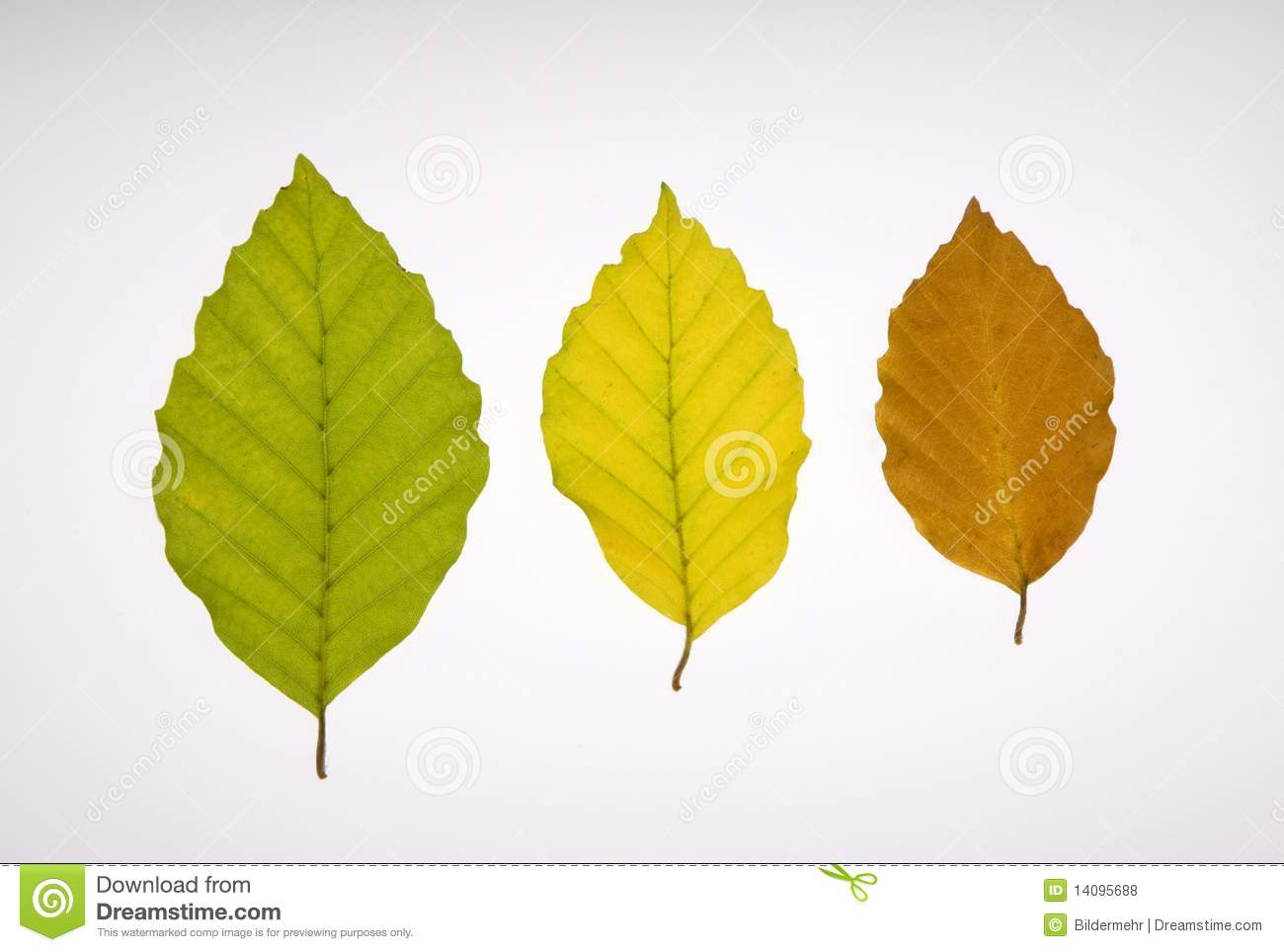 three beech leaves in different colours royalty free stock tree stump clip art black and white tree stump clipart free