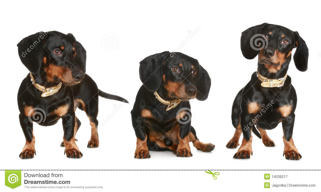 Three Black And Brown Dachshund Puppy Royalty Free Stock ...