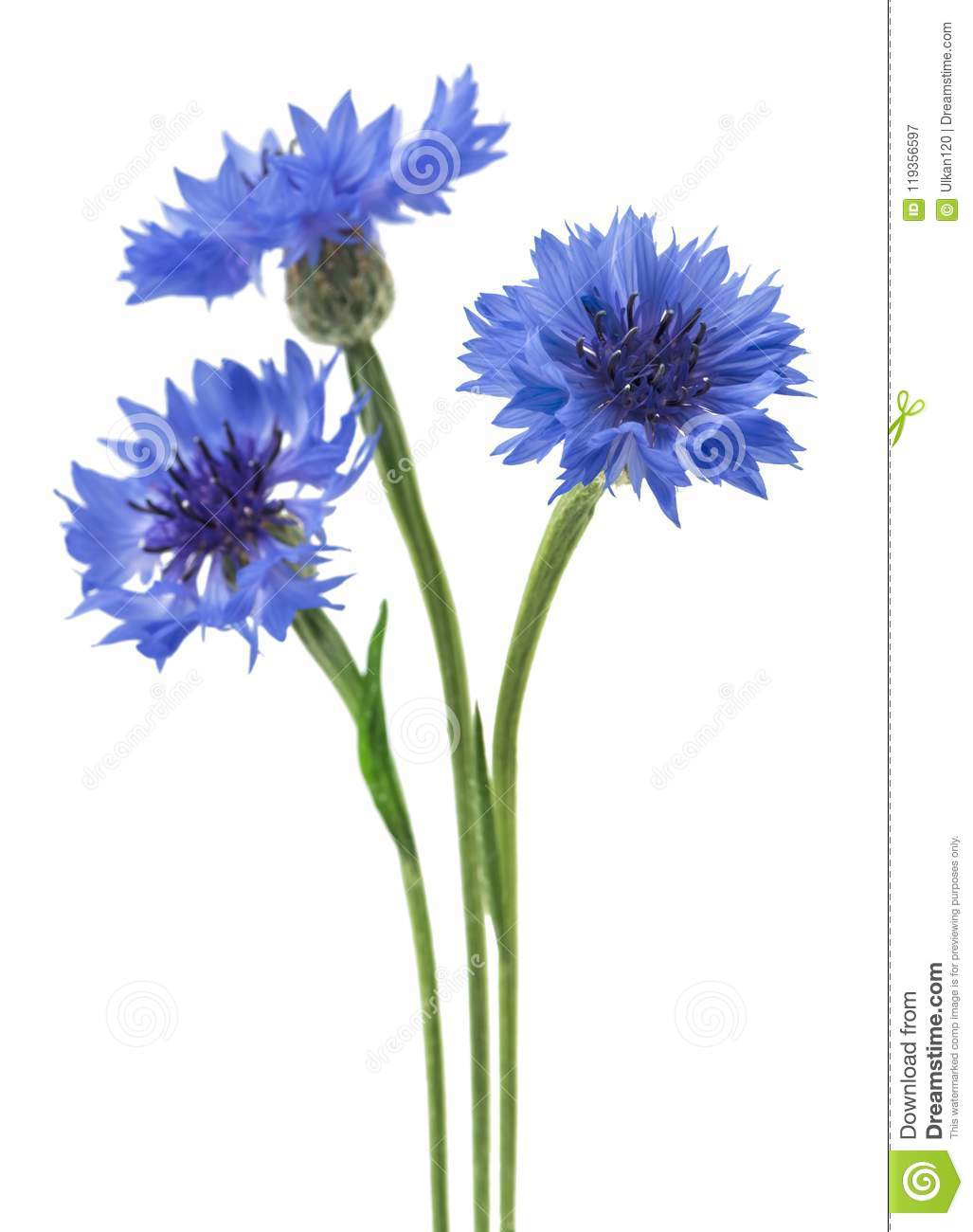 Three Blue Flowers Of A Cornflower Isolated On A White Background