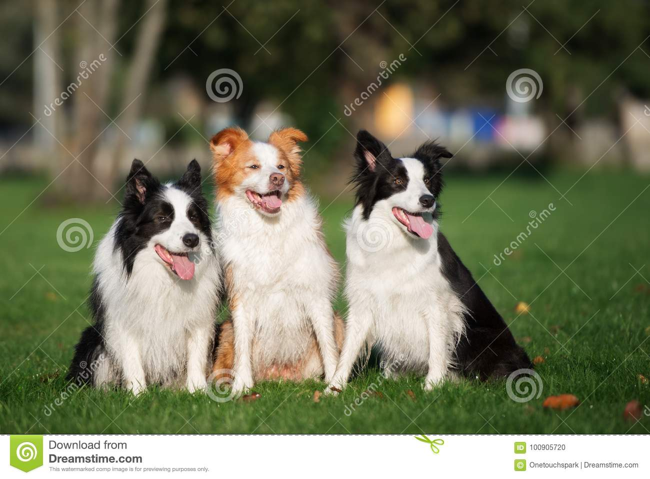 three border collie dogs sitting outdoors
