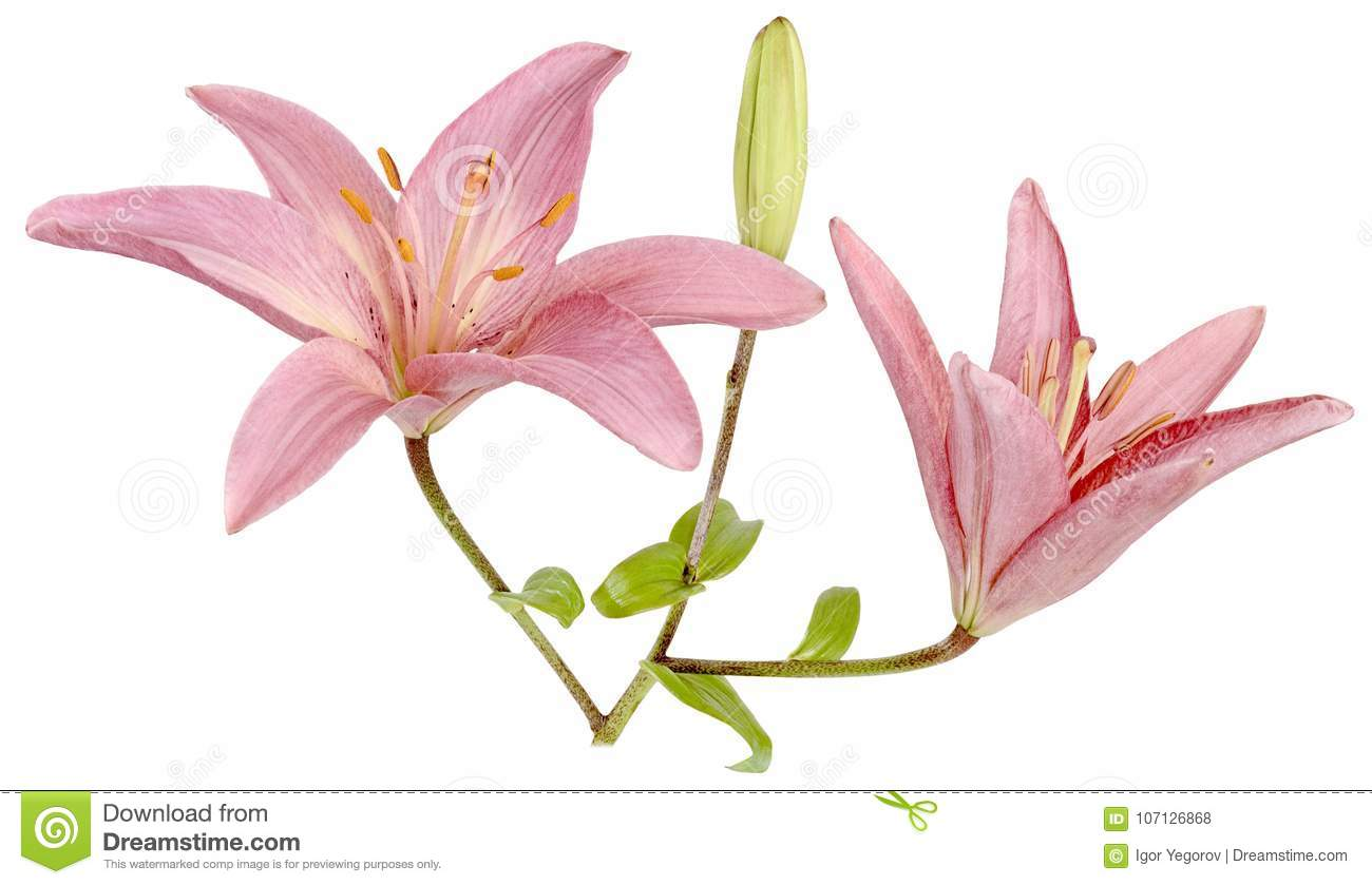 Three separate bud of a lily stock photo image of head lilies download three separate bud of a lily stock photo image of head lilies izmirmasajfo