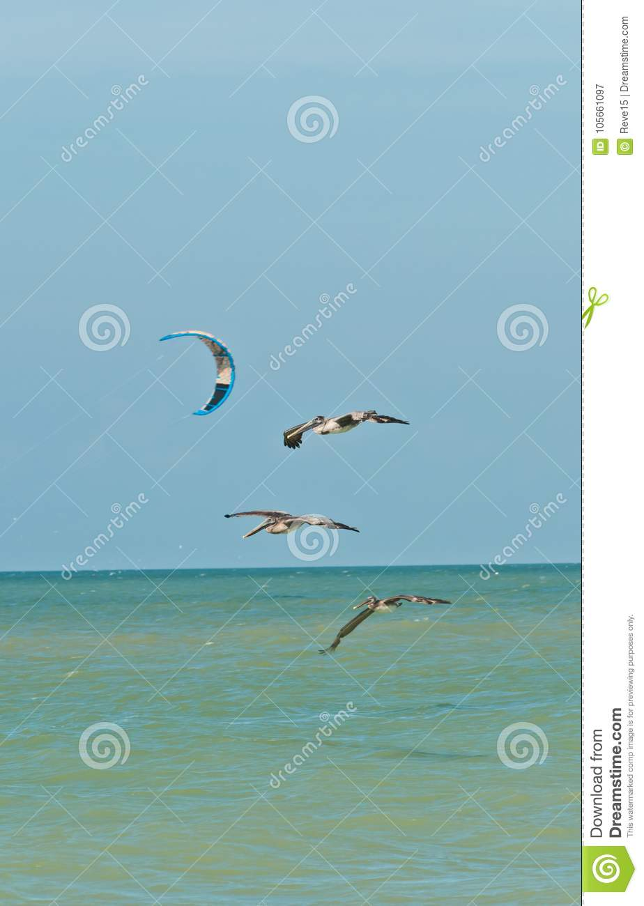 Three brown pelicans flying past a kite board parachute